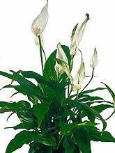Einblatt weiß - Wundervolle Zimmerpflanze für