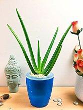 Einfache Bewässerung Pflanzen 1Aloe Vera
