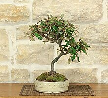 Elaeagnus bonsai tree (3)