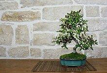 Elaeagnus Ebbingei bonsai tree