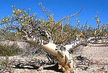 Elefant Baum, Pachycormus verfärben Caudiciform