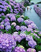Elitely 20 Stcke E Farben Hydrangea Bonsai Echte