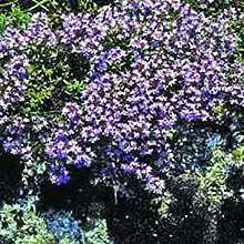 Elitely Bonsai Seeds Fresh 100 - Mutter