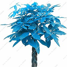 Empfehlen Blau Pachira Seed, Exotische Pachira