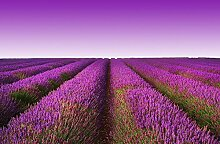 empireposter Foto-Tapete - Lavender Field -