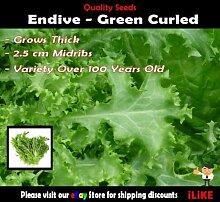 Endivie Grün Gewelltes 200 Samen Minimum.