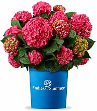 Endless Sommer 'Summer Love' Hortensie rot