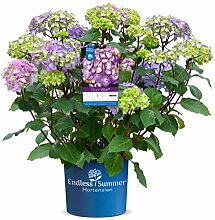 Endless Summer 'BloomStar' Hortensie lila