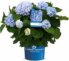Endless Summer 'The Original' Hortensie ,