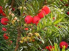 Englisch Eibe, Taxus baccata, Baum Samen