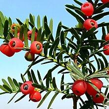Englische Eibenbaum-Samen, 10 Stück, Taxus
