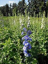Englische Garten-Rittersporn Jupiter F1 Blue Staude blau blühend Solitär-Staude winterhart Delphinium x cultorum im 3 Liter Topf 1 Pflanze