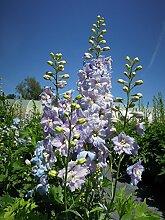 Englische Garten-Rittersporn Magic F. Sky Blue/White Bee Staude blau blühend Solitär-Staude winterhart Delphinium x cultorum im 3 Liter Topf 1 Pflanze