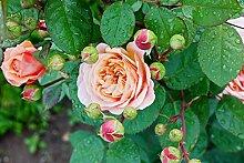 Englische/Historische Rose in div. Farbnuancen