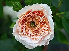 "Englische Rose ""Apricot Parfait syn. Evelyn"" - (wurzelnackte Pflanze)"