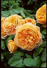 Englische Rose 'Crown Princess Margareta'