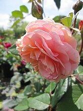 Englische Rose A Shropshire Lad® - Rosa A