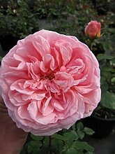 Englische Rose Abraham Darby® - Rosa Abraham