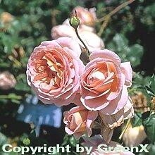 Englische Rose Abraham Darby® 30-60cm