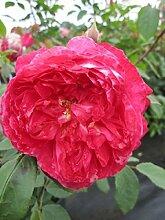 Englische Rose Benjamin Britten® - Rosa Benjamin