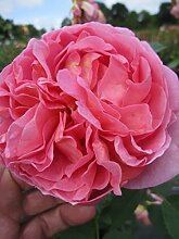 Englische Rose Boscobel® - Rosa Boscobel® -