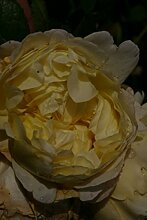 Englische Rose Charles Darwin® - Rosa Charles