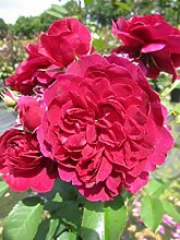 Englische Rose Darcey Bussell® - Rosa Darcey