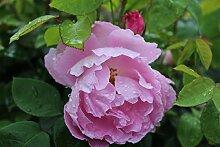Englische Rose, Englische Beetrose Mary Rose - Set