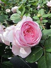 Englische Rose Geoff Hamilton® - Rosa Geoff