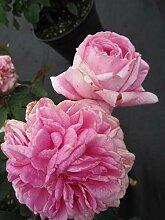 Englische Rose Gertrude Jekyll® - Rosa Gertrude