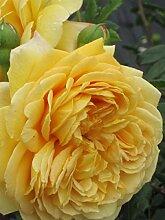 Englische Rose Golden Celebration® syn. Ausgold®