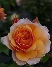 Englische Rose Grace® syn. Auskeppy® - Rosa