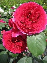 Englische Rose Heathcliff® syn. Ausnipper® -
