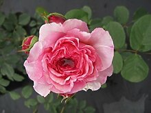 Englische Rose James Galway® syn. Auscrystal® -