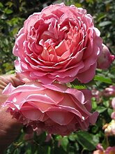 Englische Rose Jubilee Celebration® syn.