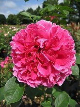 Englische Rose Lady of Megginch® - Rosa Lady of