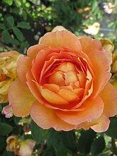 Englische Rose Lady of Shalott® syn. Ausnyson® -