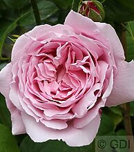 Englische Rose Mary Rose® 30-60cm