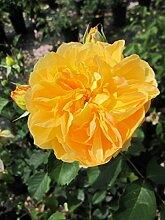 Englische Rose Molineux® syn. Ausmol® - Rosa