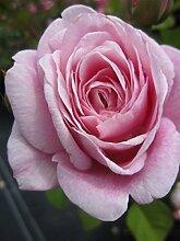 Englische Rose Queen Anne® syn. Austruck® - Rosa