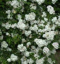 Englische Rose Snow Goose 30-60cm