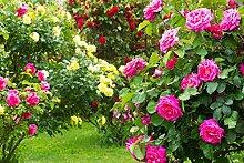 Englische Rose - Wählen Sie Ihre Wunschrose