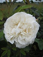 Englische Rose Winchester Cathedral® syn.