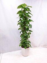 Epipremnum pinnatum - Efeutute 160 cm - Kletterpflanze // Zimmerpflanze