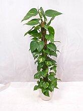 Epipremnum pinnatum - Efeutute am Moosstab 130 cm // Zimmerpflanze - Kletterpflanze