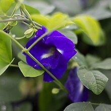 Erbse, blauer Schmetterling, blauer Schmetterling
