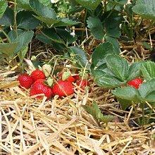 Erdbeere 'Polka' ® - Fragaria 'Polka' ® - Pflanze im Topf