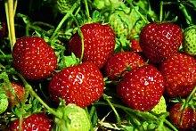 Erdbeere Senga Sengana®, im Torftopf, 20 Stück