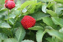 Erdbeerhimbeere Sweet Balloon - Im 1.3L-Topf, gut durchwurzelte Pflanzen (2er-Set)