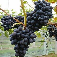 Erdbeertraube Isabella, pilzfeste Weinrebe mit